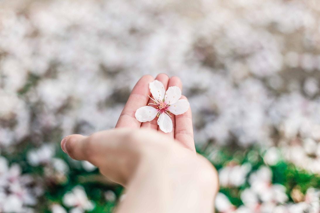 cherry blossom madrid