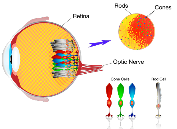 content/images/colour-theory/human-eye-cells.jpg