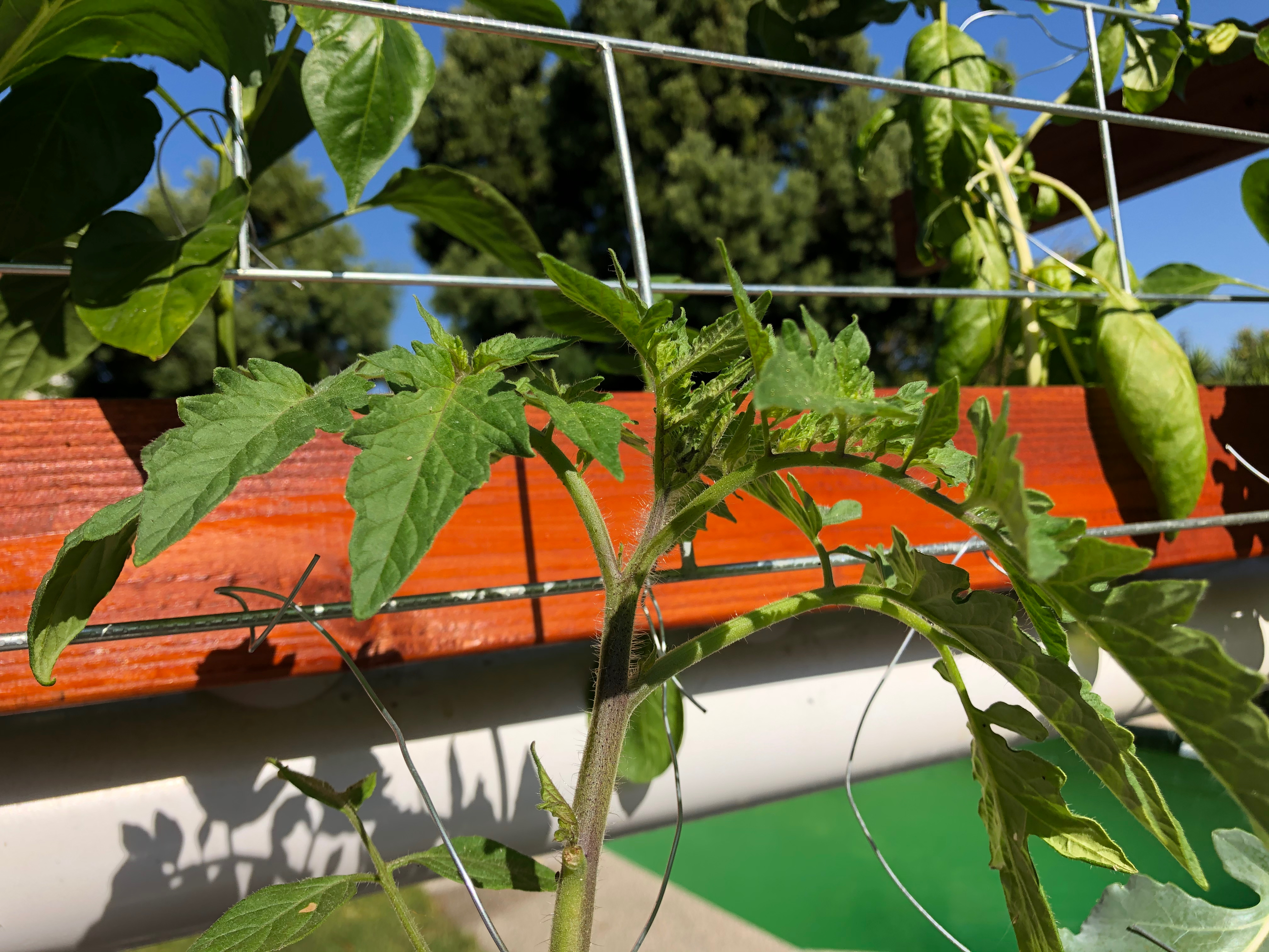 static/systems/vert-rdwc-1/images-front/growing-tomato.jpeg