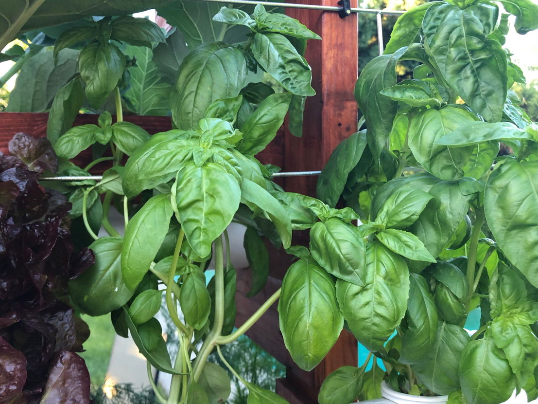 static/systems/vert-rdwc-1/images-front/basil.jpg