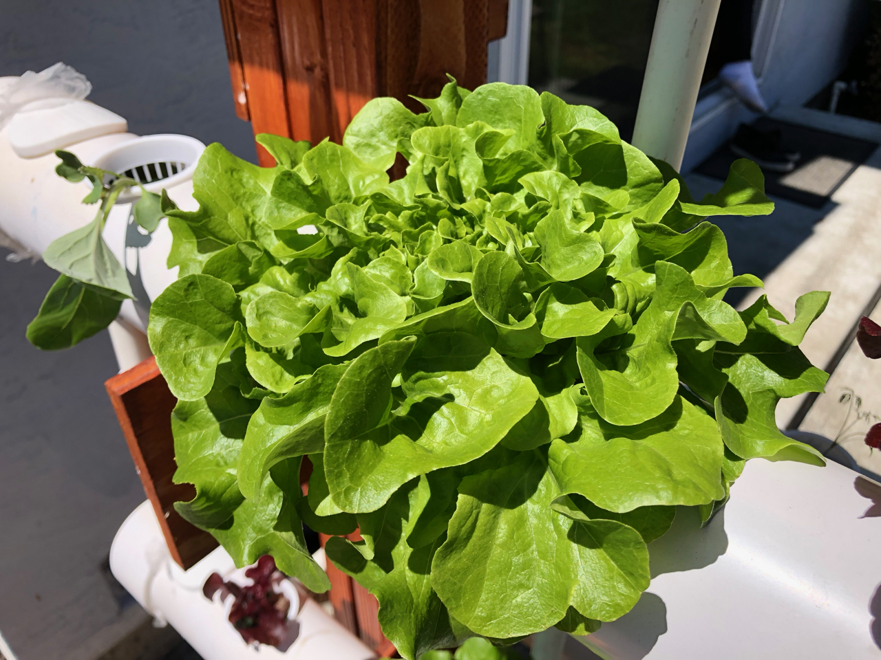 static/systems/vert-rdwc-1/images-front/lettuce-growing.jpg